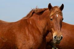 Schweres Pferd Lizenzfreie Stockfotografie