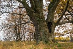 Schwermütige Herbstlandschaft Fast blattlose alte Eiche auf dem verblassenden Feld an einem bewölkten Abend Lizenzfreie Stockfotografie