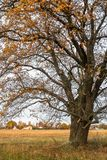 Schwermütige Herbstlandschaft Fast blattlose alte Eiche auf dem verblassenden Feld an einem bewölkten Abend Stockfotografie