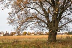 Schwermütige Herbstlandschaft Fast blattlose alte Eiche auf dem verblassenden Feld an einem bewölkten Abend Lizenzfreies Stockfoto