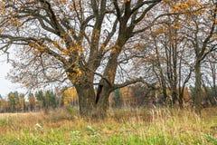 Schwermütige Herbstlandschaft Fast blattlose alte Eiche auf dem verblassenden Feld an einem bewölkten Abend Lizenzfreies Stockbild