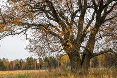 Schwermütige Herbstlandschaft Fast blattlose alte Eiche auf dem verblassenden Feld an einem bewölkten Abend Stockbild