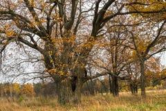 Schwermütige Herbstlandschaft Fast blattlose alte Eichenwaldung an einem bewölkten Abend Lizenzfreie Stockfotografie