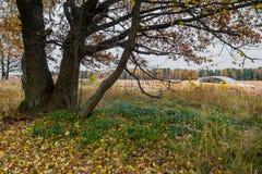 Schwermütige Herbstlandschaft Fast blattlose alte Eichenwaldung an einem bewölkten Abend Stockbild