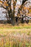 Schwermütige Herbstlandschaft Gelb färbende Kräuter und einsame blattlose alte Eiche an einem bewölkten Abend Stockfotos