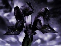 Schwermütiger gespenstischer Beschaffenheitseffekt Iris reticulata Köpfchens Lizenzfreies Stockbild