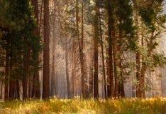 Schwermütiger Wald mit Nebel unter den Bäumen Stockbilder