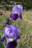 Schwertlilie, Iris Germanica im Garten Lizenzfreie Stockfotografie