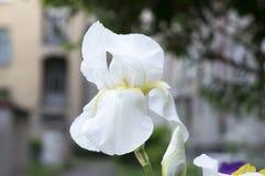 Schwertlilieblume, Iris germanica in der Blüte Stockfotografie