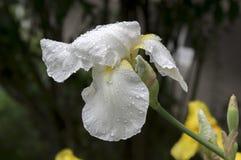 Schwertlilieblume, Iris germanica in der Blüte mit Regen fällt Stockfoto