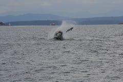 Schwertwal auf der Jagd lizenzfreie stockfotos