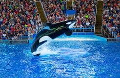 Schwertwal bei Seaworld Lizenzfreies Stockbild