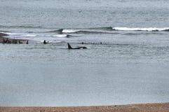 Schwertwal in der Valdes-Halbinsel Lizenzfreie Stockfotografie