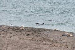 Schwertwal in der Valdes-Halbinsel Stockbild