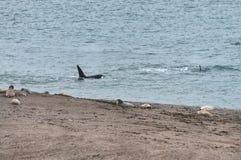 Schwertwal in der Valdes-Halbinsel Lizenzfreie Stockbilder