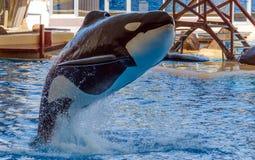 Schwertwal fliegt über das Wasser Lizenzfreies Stockfoto