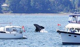 Schwertwal-Killerwal, der zwischen zwei Vergnügungsdampfern, nah an Ufer durchbricht Vancouver Island, Kanada stockfotos