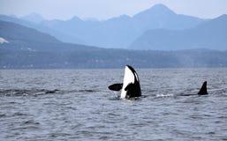 Schwertwal-Spionshopfen mit Hülse von Residentschwertwalen der Küste nahe Sechelt, BC stockfotos
