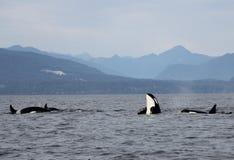 Schwertwal-Spionshopfen mit Hülse von Residentschwertwalen der Küste nahe Sechelt, BC stockbild