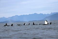 Schwertwal-Spionshopfen mit Hülse von Residentschwertwalen der Küste nahe Sechelt, BC stockbilder