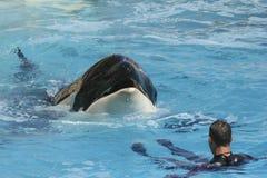 Schwertwal-Wal mit Trainer Lizenzfreies Stockfoto