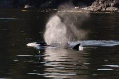 Schwertwale in Vancouver Lizenzfreies Stockfoto