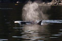 Schwertwale in Vancouver Stockbilder
