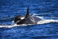Schwertwalfrau und -kalb Stockbilder