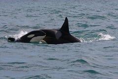 Schwertwaljunge und -erwachsener, welche die Wellen brechen Lizenzfreie Stockfotos