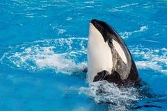 Schwertwalkillerwal beim Schwimmen lizenzfreies stockbild