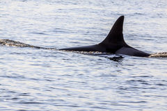 Schwertwalwale Stockbild