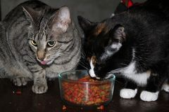 Schwester Cats Sharing Dinner Stockfoto