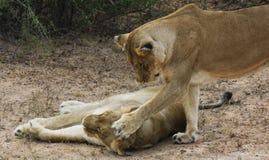 Schwesterliebe gezeigt durch Löwen stockfotografie