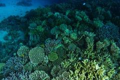 Schwimmen über grüne Farbkorallengarten stockfotos