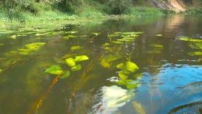 Schwimmen über Seerosen stock footage