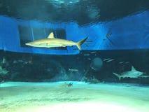 Schwimmen aufpassende Carcharhinus leucas oder Stier-Haifisch oder Sambesi-Haifischs lizenzfreies stockbild