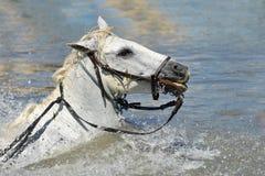 Schwimmen Camargue Pferde Lizenzfreies Stockbild