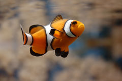 Schwimmen Clownfish II Lizenzfreies Stockfoto