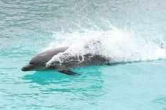 Schwimmen-Delphin Stockbilder