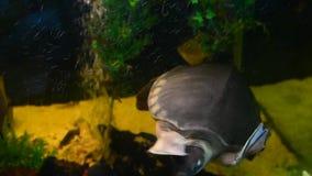Schwimmen der reißenden Schildkröte im Aquarium stock video footage