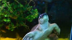 Schwimmen der reißenden Schildkröte im Aquarium stock footage