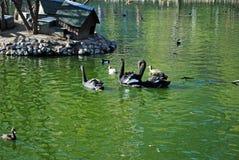 Schwimmen der schwarzen Schwäne in einem Teich Die Pelikane mit Reflexion Stockfoto