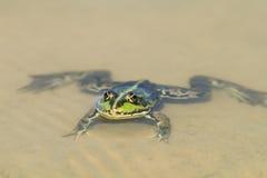Schwimmen des grünen Frosches in einem Teich auf dem sandigen Strand Lizenzfreie Stockbilder