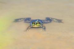 Schwimmen des grünen Frosches in einem Teich auf dem sandigen Strand Lizenzfreies Stockbild
