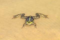 Schwimmen des grünen Frosches in einem Teich auf dem sandigen Strand Stockbild
