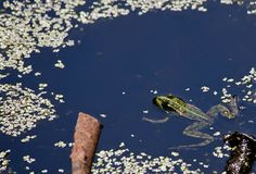 Schwimmen des grünen Frosches im Wasser Stockfoto