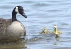 Schwimmen einer Kanada-Gans mit ihrer Nachkommenschaft Lizenzfreie Stockfotos