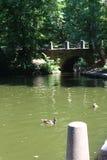 Schwimmen eines schwarzen Schwans in Sofiyivsky-Park Arboretum des botanischen Gartens in Uman, Cherkasy Oblast, Ukraine Stockfotografie