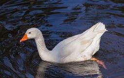 Schwimmen-Ente Lizenzfreies Stockfoto