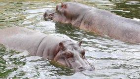 Schwimmen-Flusspferde stock footage